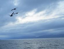 Timeless Spirits - Three Pelicans Take Flight Near the Manhattan Beach Pier. March 25, 2012.
